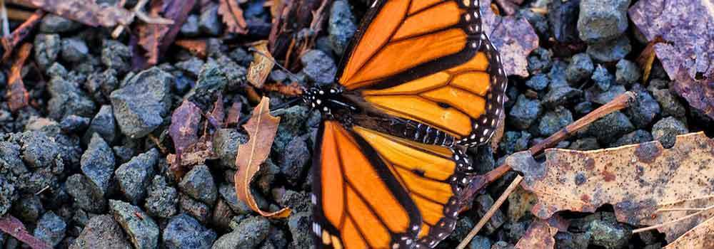 Monarch-Butterfly-Grove-on-99Insights
